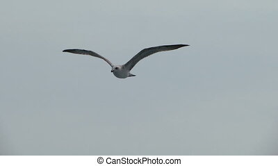 seagull fly 05