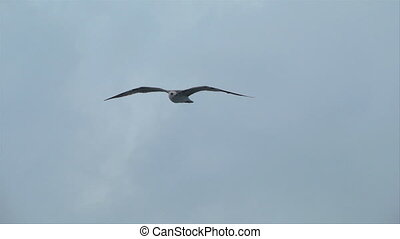 seagull fly 06