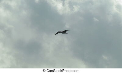 seagull fly 08