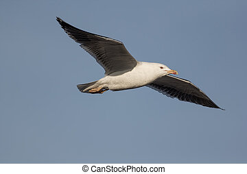 Seagull flying against pale blue sky.