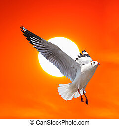 Seagull flying at sunset