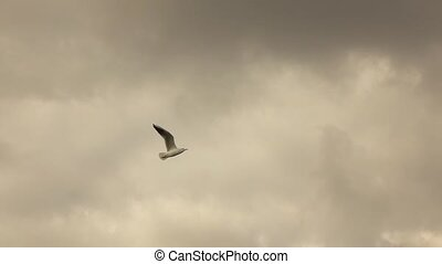 seagull flying in a cloudy sky - a lone gull flying in a...