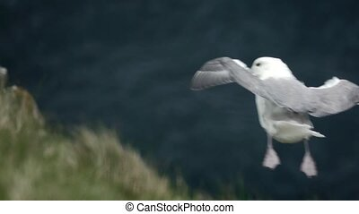 Seagull flying over the cliff in slow-mo - Seagull flying ...
