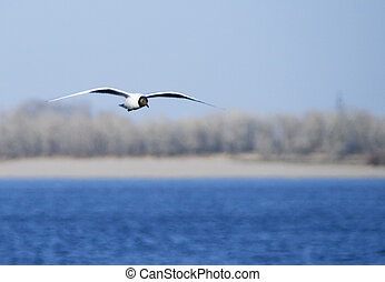 Seagull  flying over the river over big blue sky background