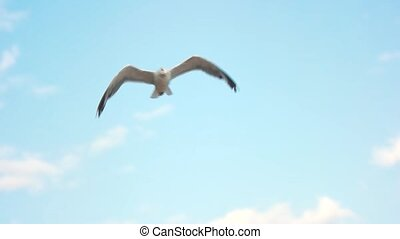 Seagull flying, slow motion. Bird on blue sky background....