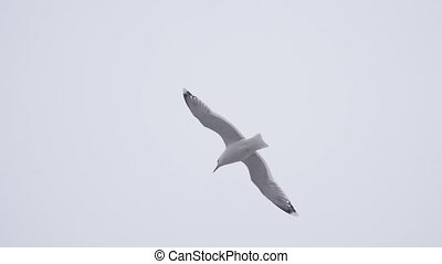 Seagull flying very close to camera in slow motion. 180 fps...