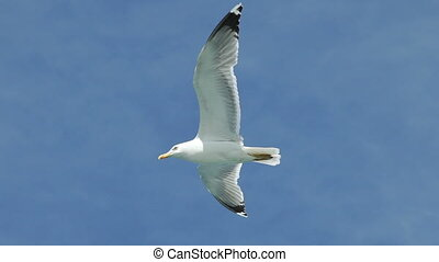 Seagull flying very close to camera in slow motion - Seagull...