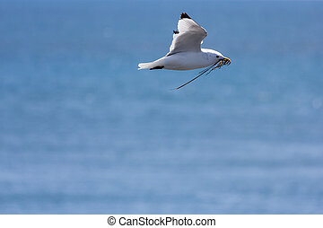 seagull flying with straw to build the nest