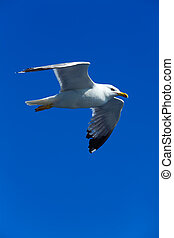 Seagull following boat near Athos Peninsula, Mount Athos, ...