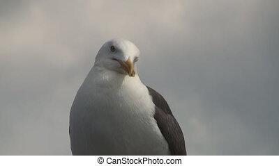 Seagull as seen along the Dutch coast