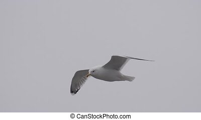 seagull glide in the cloudy sky. slow motion videv