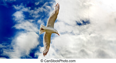 Seagull gliding in flight close up
