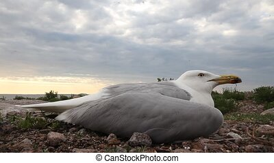 seagull ill - seagull sick by highly Pathogenic Avian...
