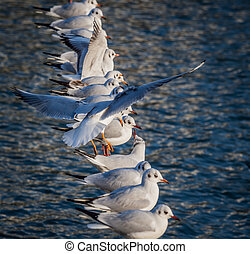 seagull in flight looking for a place to land. - a seagull...