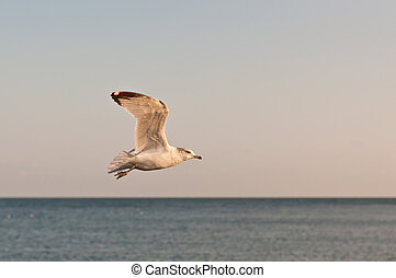 Seagull in Flight Over a Lake