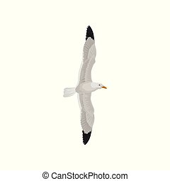 Seagull in flight with wings spread, gray and white sea...