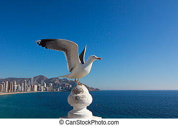 Seagull in front of Benidorm city view