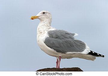 Seagull in Profile - Seagull in profile on rock.