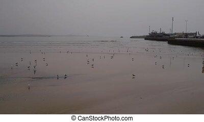 Seagull in sand on beach, Morocco, Essaouira