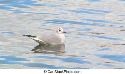 Seagull in the sea.