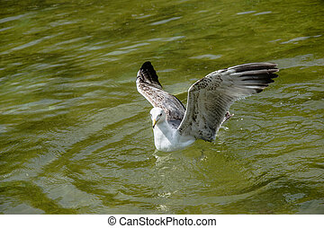 Seagull in the water of a pond