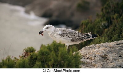 Seagull is eating meal - Seagull on rock eats something
