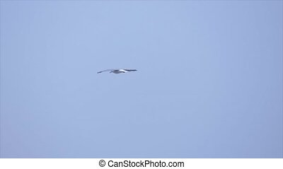 Seagull is flying and soaring over blue sea. Sea bird in...