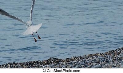 Seagull is flying away of pebble beach. Sea bird on rocky beach of Sochi, Russia.