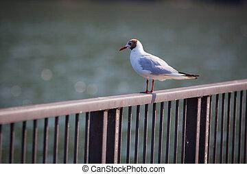 Seagull. Lake Como, Italy