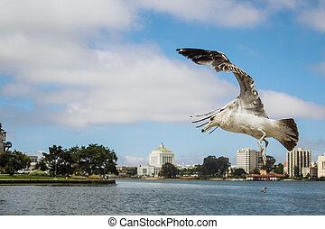 Seagull landing to a park by the Lake Merritt, San Francisco, California,United States of America aka USA