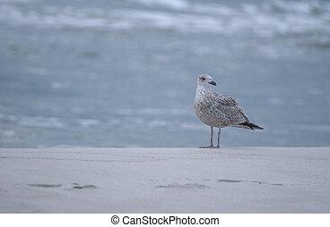 Seagull - Larus argentatus