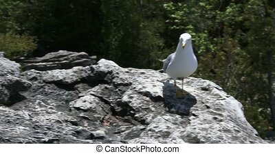 Seagull looking for food on a rock