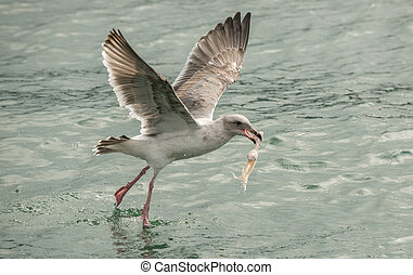 Seagull mid flight holding chicken wind stolen from crab...