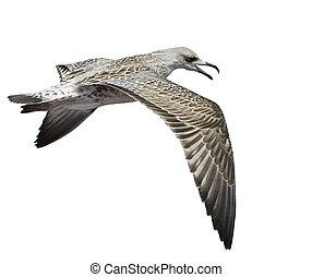 seagull, odizolowany, na białym