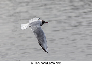 seagull on a background of water