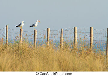 Seagull on a fence.