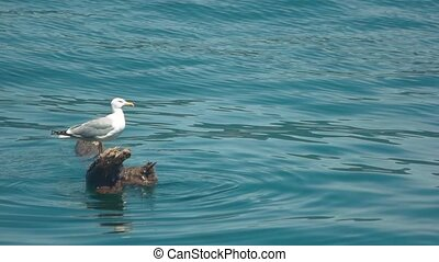 Seagull on a log. Bird on water background. The lonely...