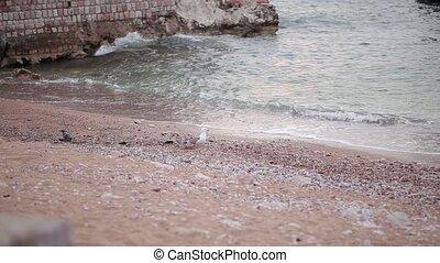 Seagull on a pebble beach. He walks along the beach in...