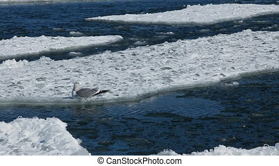 Seagull on ice floes drifting in the sea and flying away