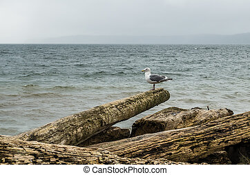 Seagull On Log