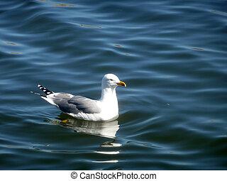 Seagull On Maspalomas Nature Reserve - Seagull floating on...
