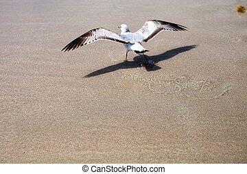 Seagull on Miami Beach
