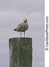 Seagull on Post in Clouds