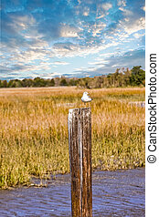 Seagull on Post in Marsh