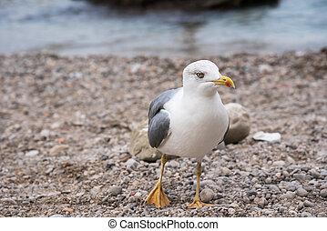 Seagull on rocky beach