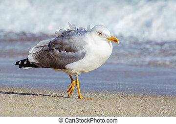 Seagull on the Beach - Seagull Walking along the Beach of...