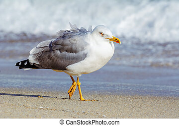 Seagull on the Beach - Seagull Walking along the Beach of...