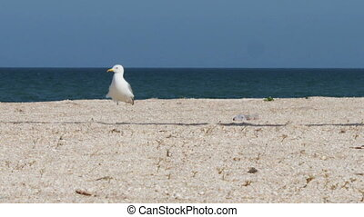 Seagull on the beach, stands and walks on the beach by the sea on a background of waves and the blue sky.