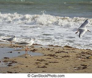 Seagull on the coast of Black sea