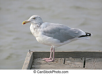seagull on the dock